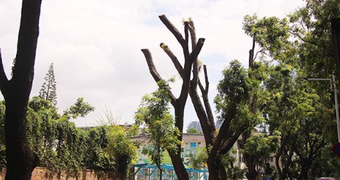 为抗台风多年大树被剪秃 市民多了一份理解