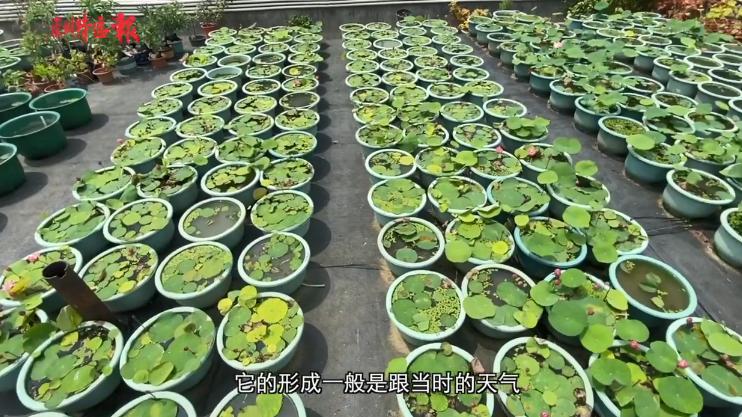 """洪湖公园发现一株""""童乐""""并蒂莲 为有记录以来国内最迷你!"""