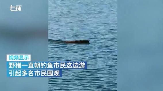 """野猪在深圳海中""""游泳""""引市民围观,目击者一开始以为是海龟"""