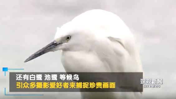 """深圳湾迎来""""黄金观鸟期""""!快来看珍稀候鸟!"""