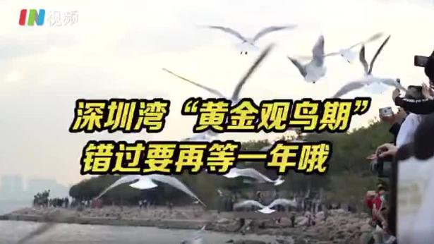 错过要再等一年! 深圳湾10万候鸟等着你