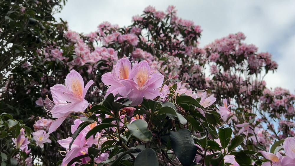 又是一年春来到,梧桐山杜鹃花海邀你来打卡!